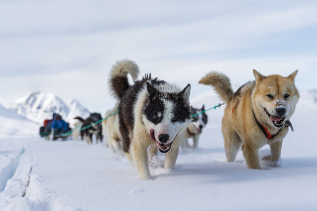 Dog Sledding, Passionate Runners by Markus Trienke (Flickr)