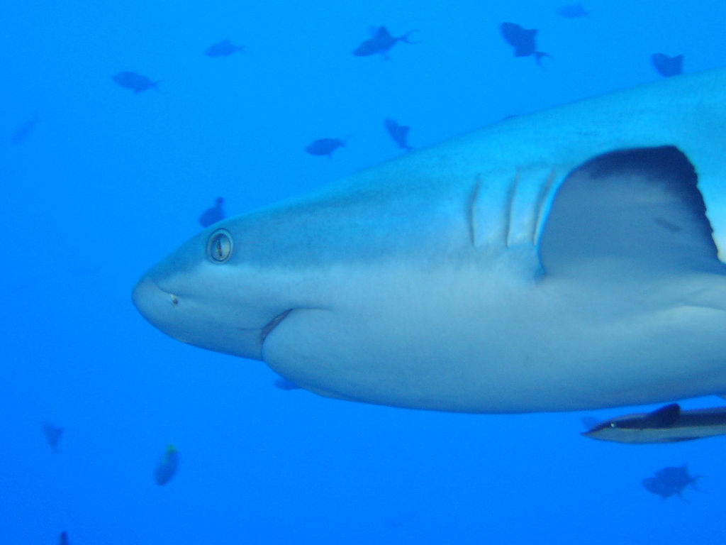 Grey Reef Shark by Shinji (Flickr)