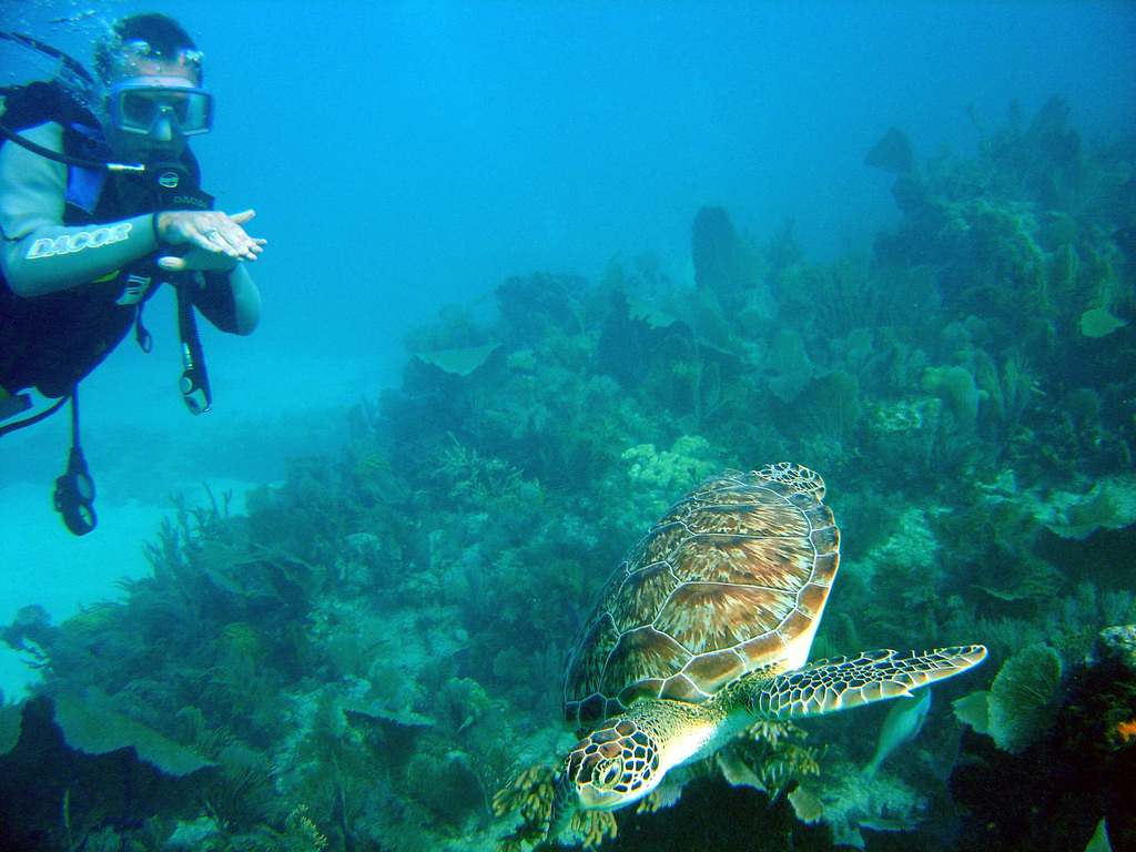 Hawksbill Turtle Swimming Underwater in Florida Keys by Matt Kieffer (Flickr)