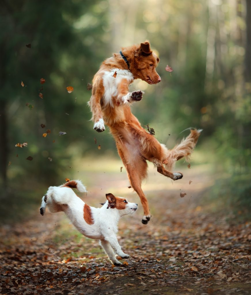 Jack Russell Terrier and Golden Retriever Jumping in Forest